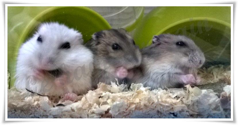 le-hamster-nain-5.png